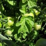 Tomato school